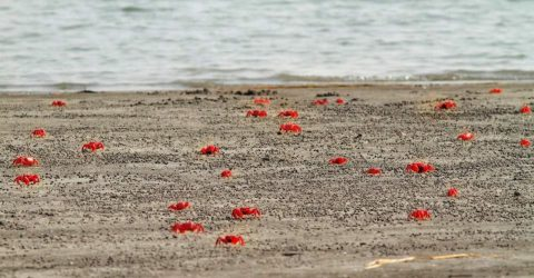 চরফ্যাশনের সাগরের বুকে তাডুয়া সৈকতে লাল কাঁকড়ার মিছিল